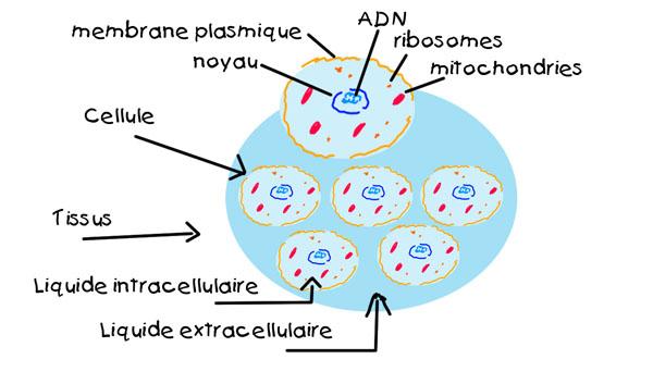 Liquide extracellulaire et intracellulaire. Naturopathe sur Paris